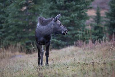 Moose calf, Kananaskis Alberta
