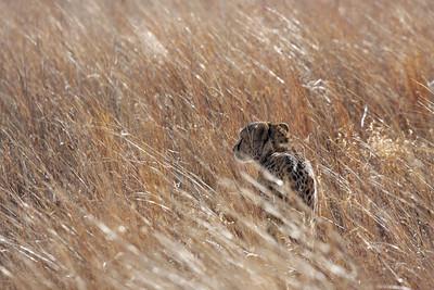 Cheetah, Gauteng, South Africa
