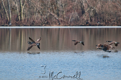 Canadian Geese at Stagecoach Lake