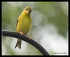 Yellowfinch2