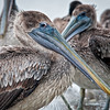 The Louisiana state bird, the Brown Pelican, posing for her close up.