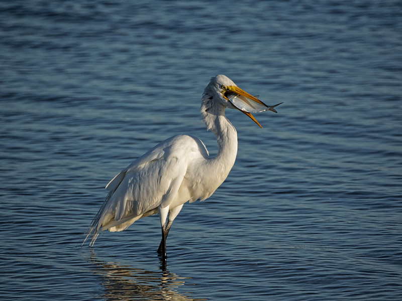 Egret's Breakfast