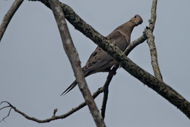 Mourning Dove in Jacksonville Beach