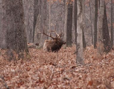 Bull Elk, Lone Elk Park