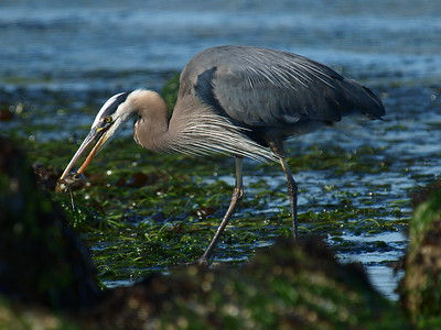 The fishing was good with the tide out.  This guy ate around 15 fish while I was photographing him.