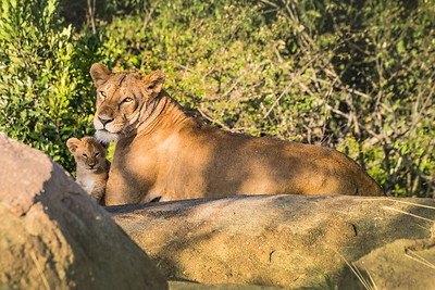 Lioness and Cub 1239