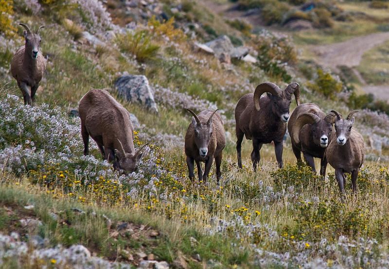 Bighorn sheep feeding near Georgetown, Colorado