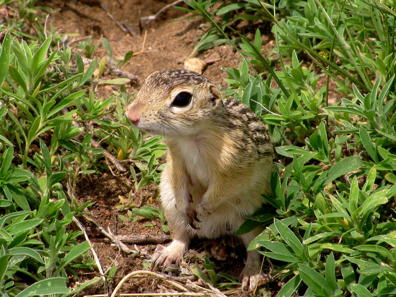 13 stripe ground squirrel