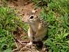 13 stripe ground squirrel