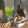 Male (right) and Female Cowbirds