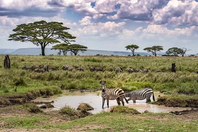 Zebras 9828