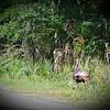 Wild Turkey at Myakka River