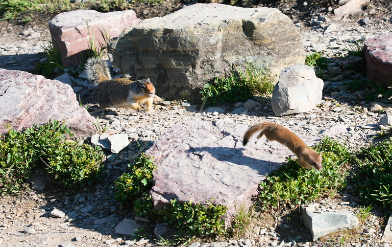 Ground squirrel being chased by Black Tailed Weasel in Montana