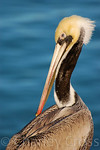 Brown Pelican. Port San Luis, CA (16 Jan 2009)