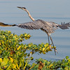 Great Blue Heron south of Palatka.