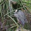Yellow-crowned Night-Heron, St. Augustine