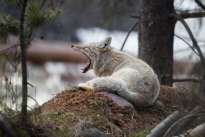 Coyote waking up