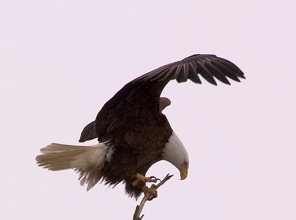 This Bald Eagle was photographed just as it landed in a tree in Valdez, Alaska. The photograph was taken around mid-May 2006.