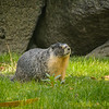 Roger, the resident Yellow-bellied Marmot at the Empress
