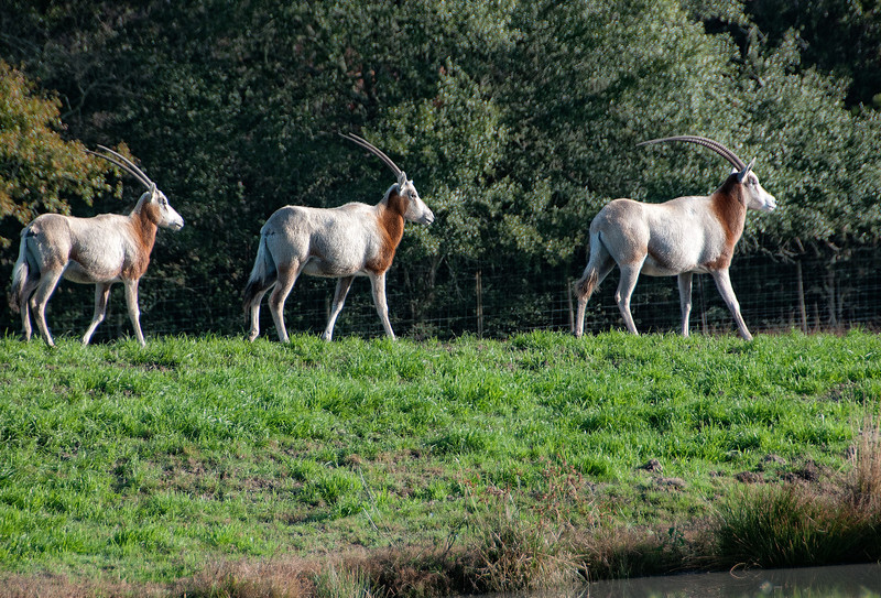 Scimitar Horned Oryx, some of the wildlife on the beautiful Rhodes Ranch in Southwest Louisiana.