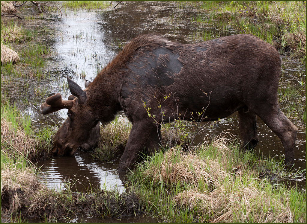Canadian Moose in Spring<br /> <br /> The moose lose their fur because of scratching ticks during the long winter months.