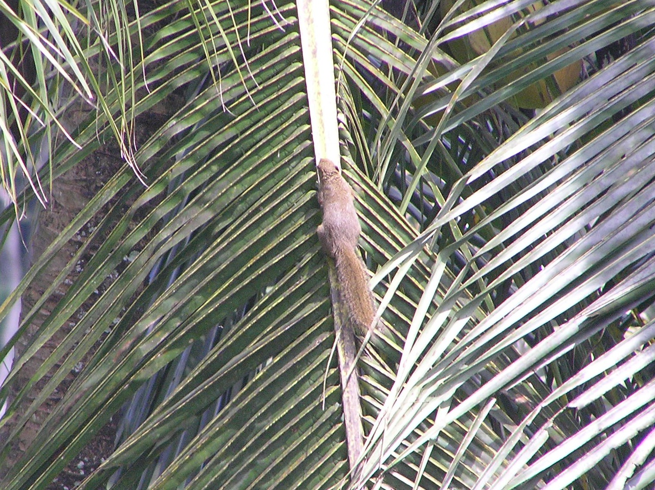 squirrel bali aug 2010