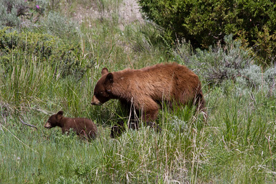 Brown Bear & Cub