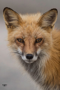RED FOX - LONG ISLAND