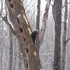 Pileated Woodpecker in Terra Cotta Woods
