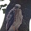 Young Peregrine Falcon taken in suburban Montreal