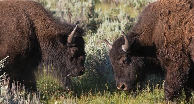 Bison Confrontation, Yellowstone