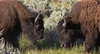 Bison Confrontation, Yellowstone