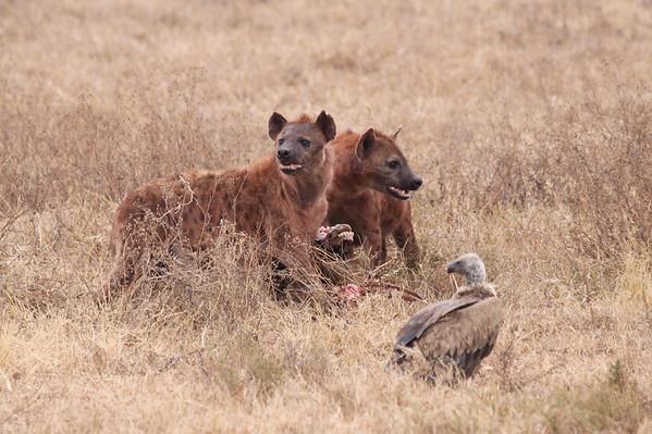Hyenas Guarding the Kill