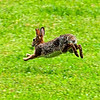 Cottontail rabbit on the run
