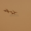 Swans over the Mississippi River
