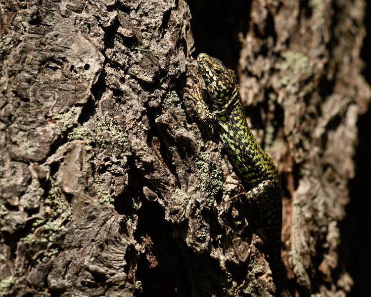 European Wall Lizard