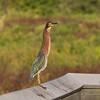 Green Heron at La Chua Trail