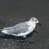 Fernandina Beach Laughing Gull