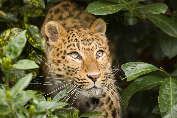 A Leopard in the Undergrowth