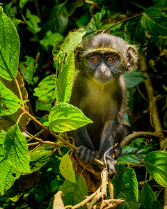 Baby Sykes Monkey in Arusha National Park