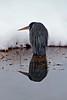 Blue Heron, Fort Collins, CO
