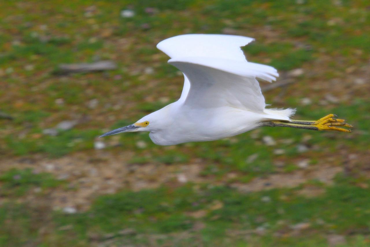 Snowy Egret In flight at Radio Road