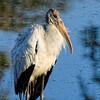 Wood Stork in Charleston