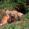 Red Fox kits playing near Brimley, Michigan