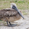 Brown Pelican at Guana River