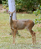While I was focusing on the other deer, this one came up on the side of me.  (2010.09.11) @sharkbayte