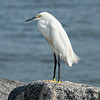 Snowy Egret on the shore of the Saint Mary's