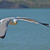 Gull at Fort Peck