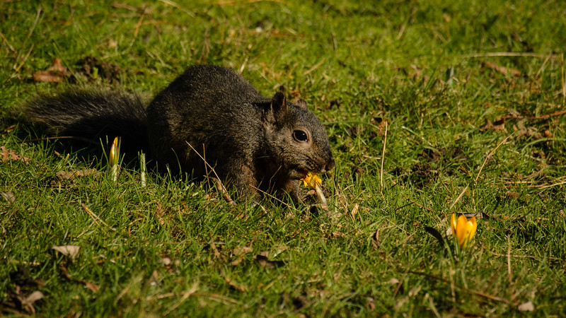 Squirrel eating the crocus at Beacon Hill Park