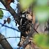 Downy Woodpecker - Charlotte, NC Sep 2013